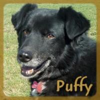 Affiche des chiens à l'adoption  A PARTAGER * IMPRIMER * DIFFUSER Puffy_11