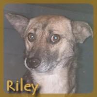 Affiche des chiens à l'adoption  A PARTAGER * IMPRIMER * DIFFUSER Riley_10
