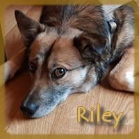 Affiche des chiens à l'adoption  A PARTAGER * IMPRIMER * DIFFUSER Riley_12