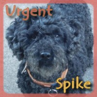 Affiche des chiens à l'adoption  A PARTAGER * IMPRIMER * DIFFUSER Spike10