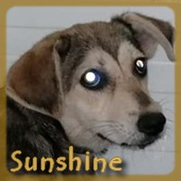 Affiche des chiens à l'adoption  A PARTAGER * IMPRIMER * DIFFUSER Sunshi10