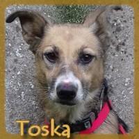 Affiche des chiens à l'adoption  A PARTAGER * IMPRIMER * DIFFUSER Toska_11