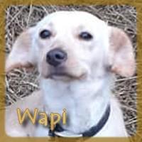 Affiche des chiens à l'adoption  A PARTAGER * IMPRIMER * DIFFUSER Wapi_v10