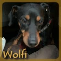 Affiche des chiens à l'adoption  A PARTAGER * IMPRIMER * DIFFUSER Wolfi10