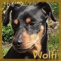 Affiche des chiens à l'adoption  A PARTAGER * IMPRIMER * DIFFUSER Wolfi111