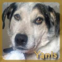 Affiche des chiens à l'adoption  A PARTAGER * IMPRIMER * DIFFUSER Yanis-10