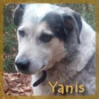 Affiche des chiens à l'adoption  A PARTAGER * IMPRIMER * DIFFUSER Yanis-11