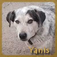 Affiche des chiens à l'adoption  A PARTAGER * IMPRIMER * DIFFUSER Yanis_11