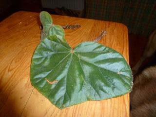begonia credneri - Page 2 P1010711