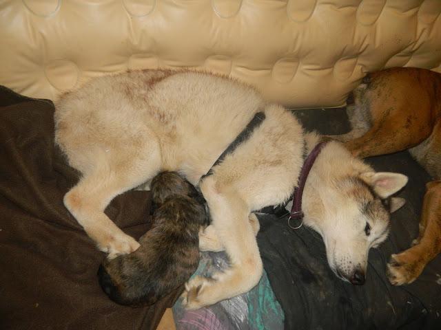6 chiots à adopter mi-février et demande de dons Avecpa10