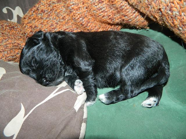 6 chiots à adopter mi-février et demande de dons Bilbo10