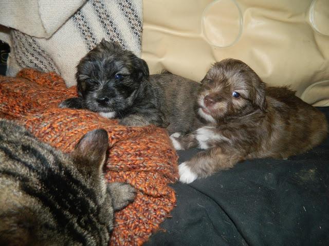 6 chiots à adopter mi-février et demande de dons Neehla11