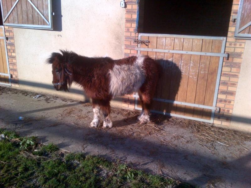 POLLY - ONC Poney Shetland née en 2004 - adoptée en mars 2013 par Moutarde Polly_10