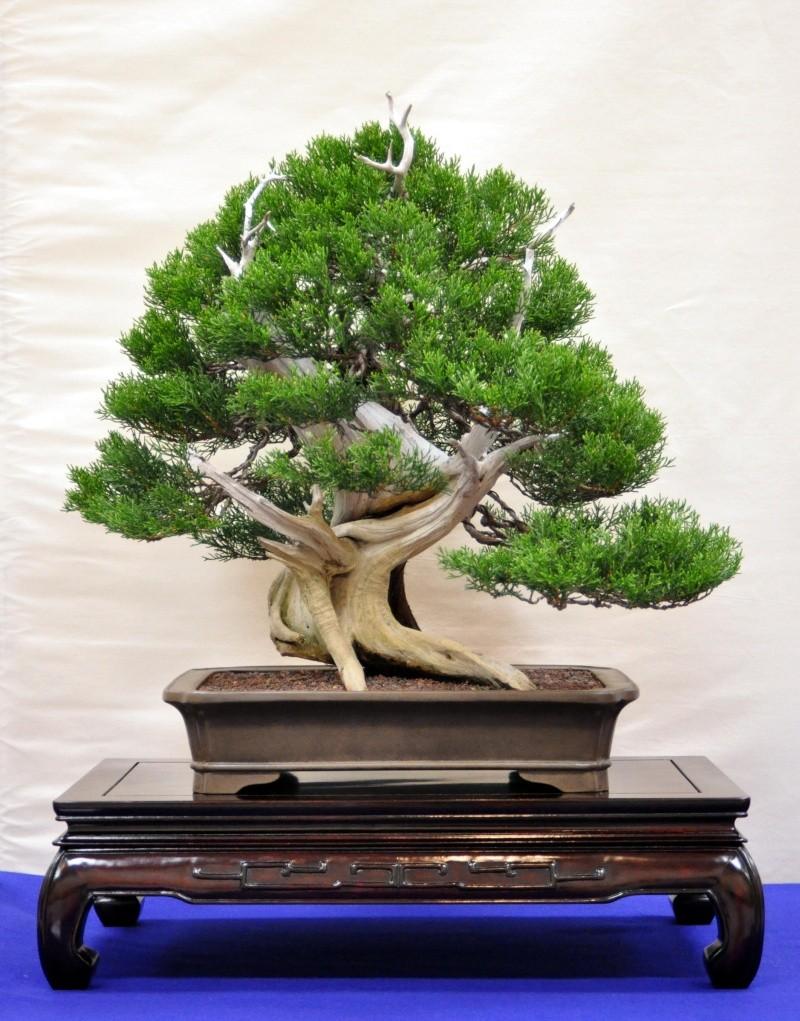 Ashe Juniper (Vito Megna tree) design help needed 2010_610