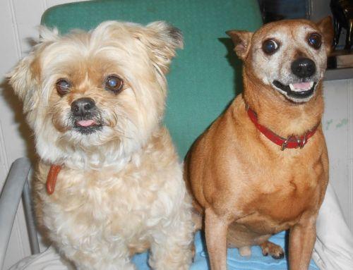Adoption vivaldi pinscher de 10 ans et lola (à adopter ensemble) 59 500_4111