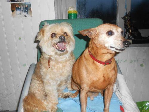 Adoption vivaldi pinscher de 10 ans et lola (à adopter ensemble) 59 500_7411