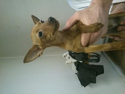 TIDJY pinscher 4 mois à l'adoption.Aveugle (94) Dsc_0011