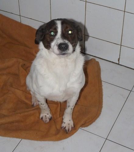 Adoption E.mail jack russel né en 2009 (59) Fop11110