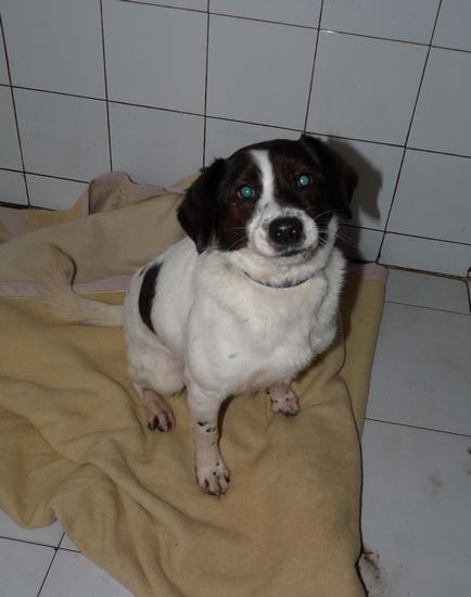 Adoption E.mail jack russel né en 2009 (59) P1170011