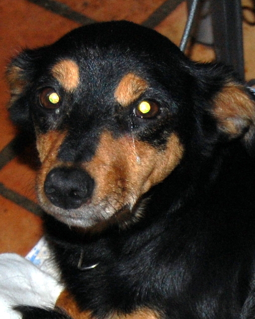 Louna x pinscher de 11ans à l'adoption (60) Rmziq10