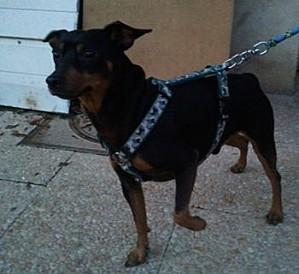 Adoption Cysco pinscher né en 2007 (91) Sysco10