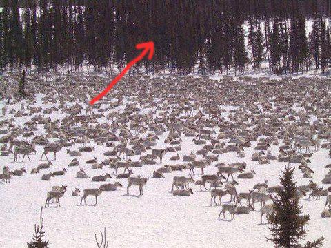 Ou est le Caribou? 37094_10