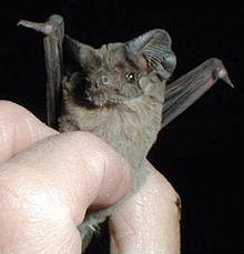 """"""" Bat bomb """" : les bombes chauves souris 220px-10"""
