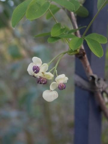 Akebia quinata - liane ou vigne chocolat - Page 2 Akebia10