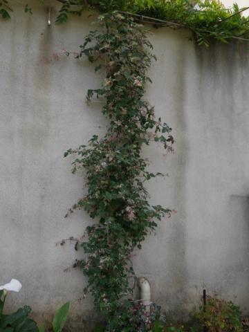 Ampelopsis glandulosa var. brevipedunculata  (= Ampelopsis brevipedunculata) - Page 2 Ampelo10