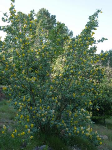 Argyrocytisus battandieri (= Cytisus battandieri) - genêt ananas Argyro10