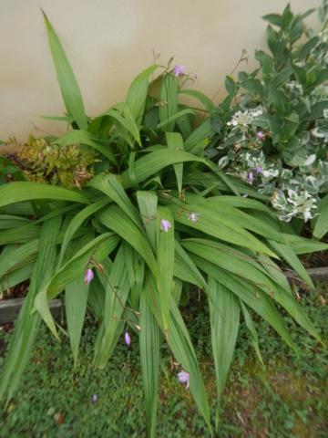 Bletilla striata - orchidée du Japon - Page 4 Bletil11