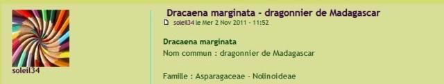 Dracaena marginata - dragonnier de Madagascar Captur10