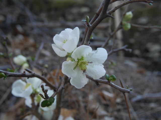 brins de printemps Chaeno11