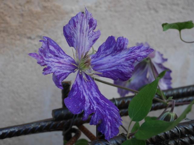 Brumes de fleurs - Page 2 Clemat15