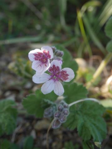 Erodium pelargoniflorum ≠ Erodium trifolium - discussion - Page 2 Erodiu10