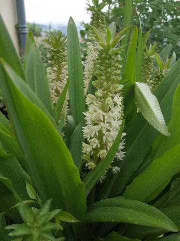 chaleureuses floraisons - Page 2 Eucomi10