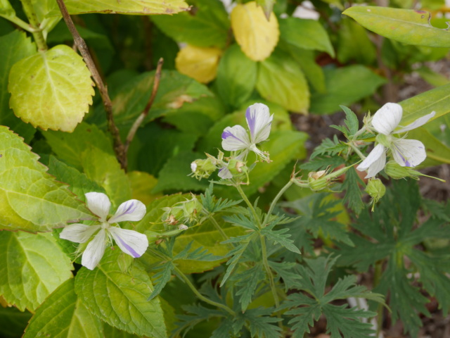 Geranium pratense 'Splish Splash' Gerani12