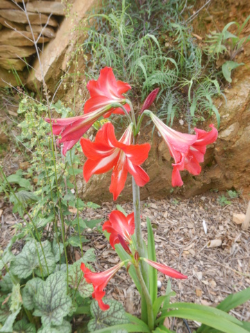 Hippeastrum hybrides - Page 4 Hippea10