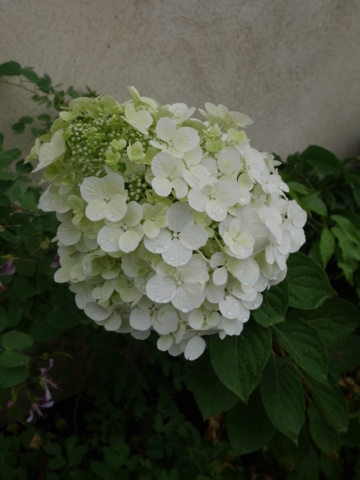 chaleureuses floraisons - Page 2 Hydran10