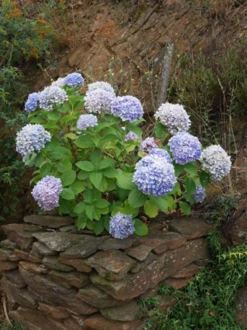 chaleureuses floraisons - Page 2 Hydran11