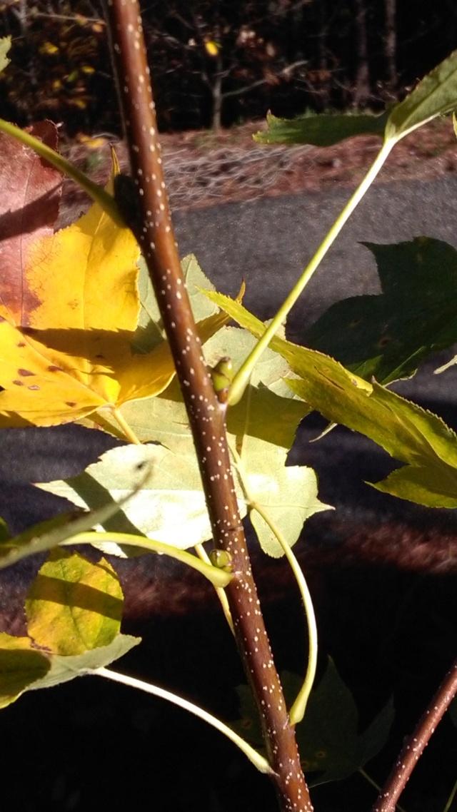 Sorbus torminalis [Identification] Img_2012