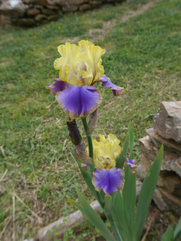 Iris 'Tumultueux' - Cayeux 1995 Iris_t10