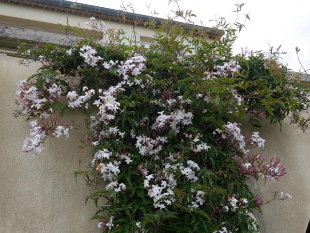 Jasminum polyanthum Jasmin13