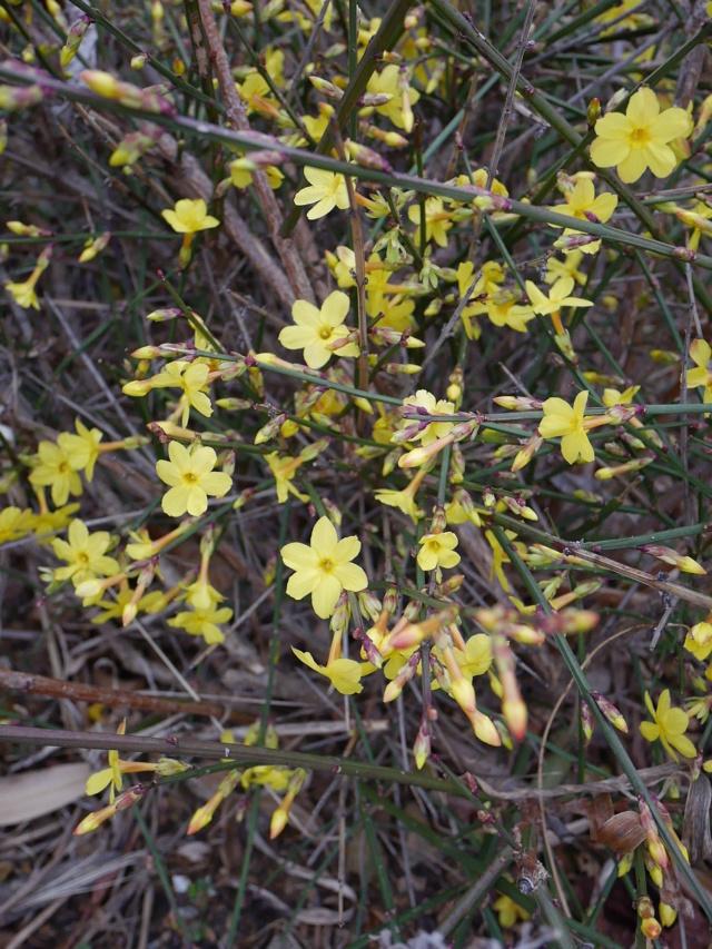 Jasminum nudiflorum - jasmin d'hiver Jasmin16