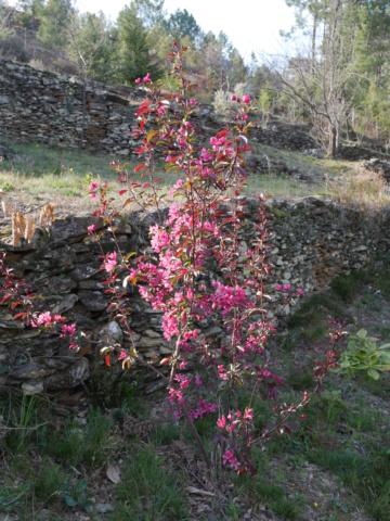brassées fleuries Malus_10