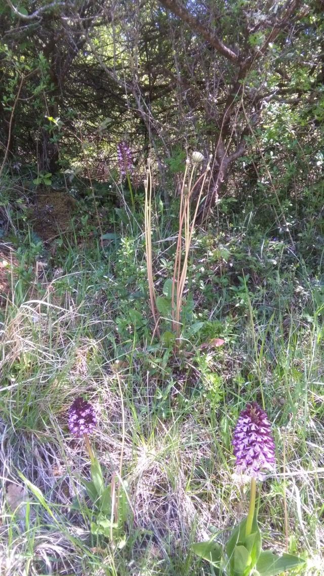 Orchis purpurea - orchis pourpre Orchis10