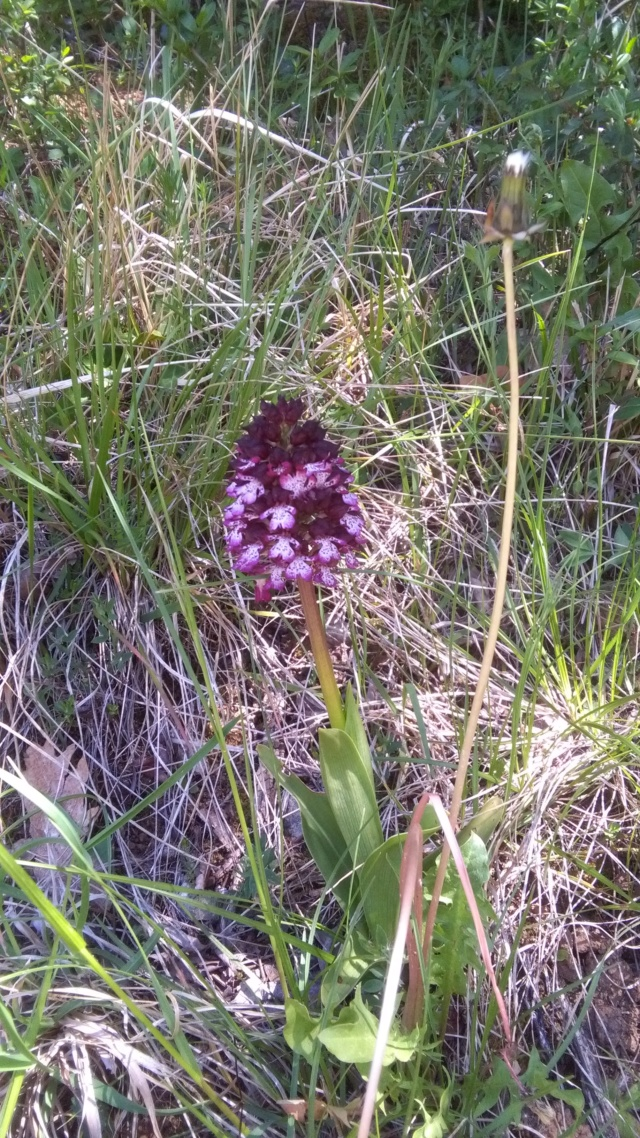 Orchis purpurea - orchis pourpre Orchis11