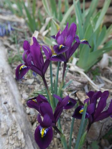 brins de printemps P1010111