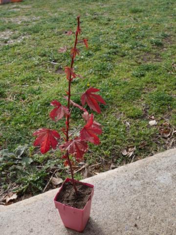 Hibiscus acetosella (= Hibiscus eetveldeanus) P1010114