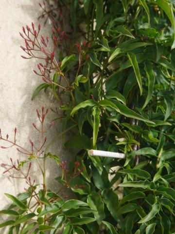 Jasminum polyanthum P1010116